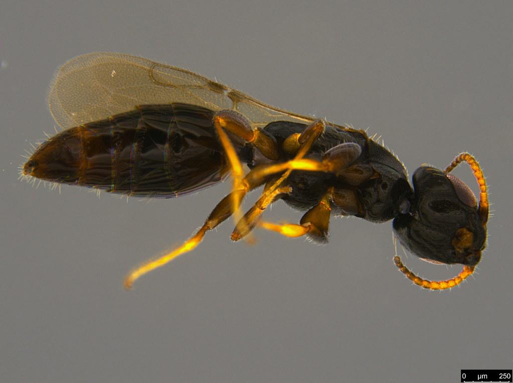 19c - Bethylidae sp.