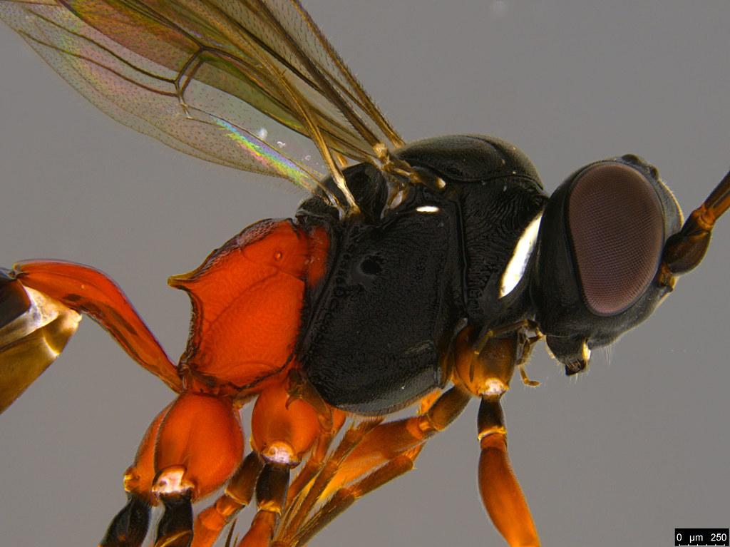 23b - Anacis sp.