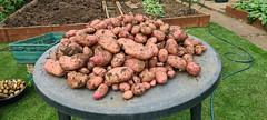 Sarpo Mira potatoes