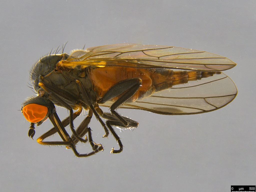 12a - Diptera sp.