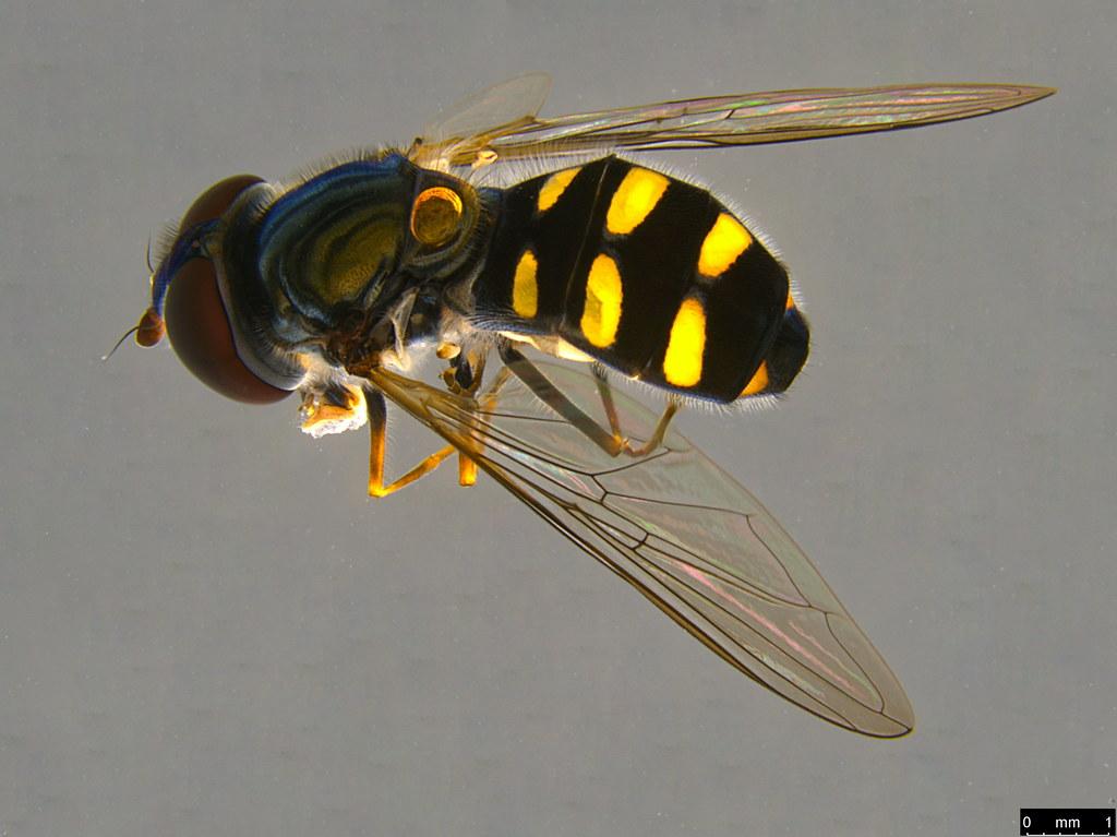14a - Melangyna viridiceps (Macquart, 1847)