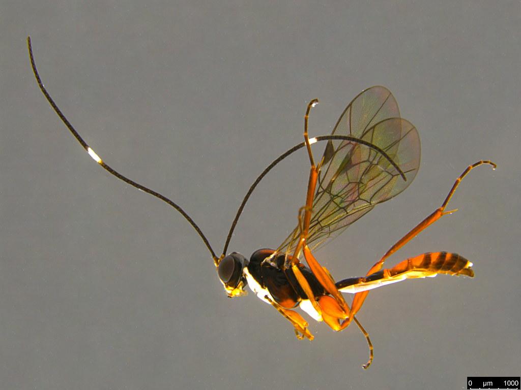 26a - Ichneumonidae sp.