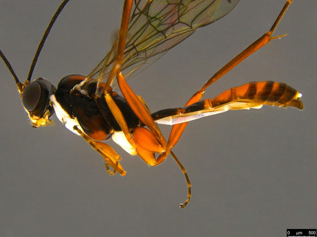 26b - Ichneumonidae sp.