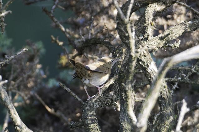 Cooley Grasshopper Warbler