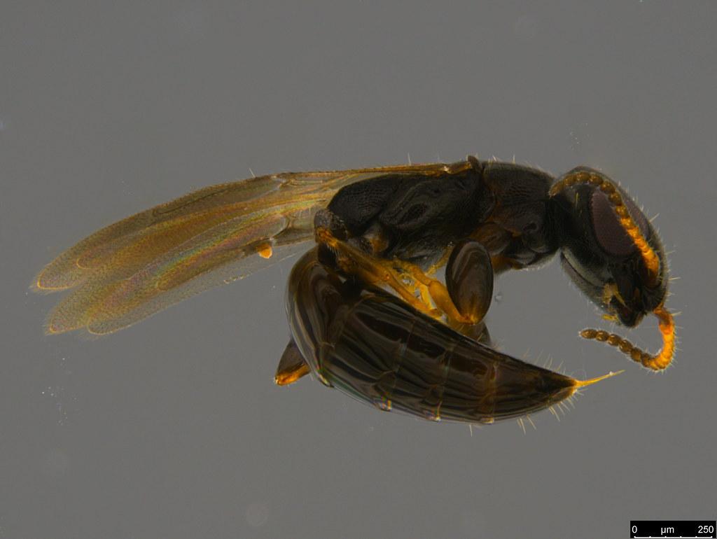 21 - Bethylidae sp.