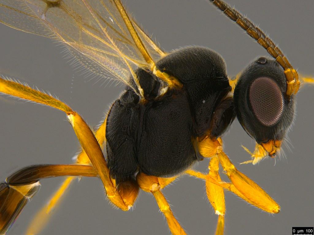 27b - Braconidae sp.