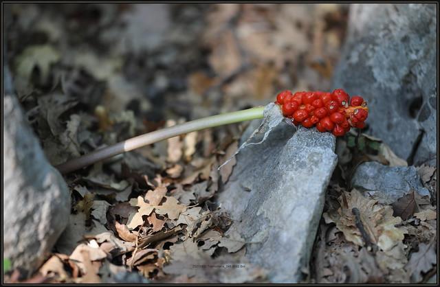 Arum maculatum, Cuckoopint, Cuckoo-Pint, Lords-and-ladies, Obični kozlac, 8592 Bot, 11.IX.2021. Cres. 20210911 Tramuntana_045.