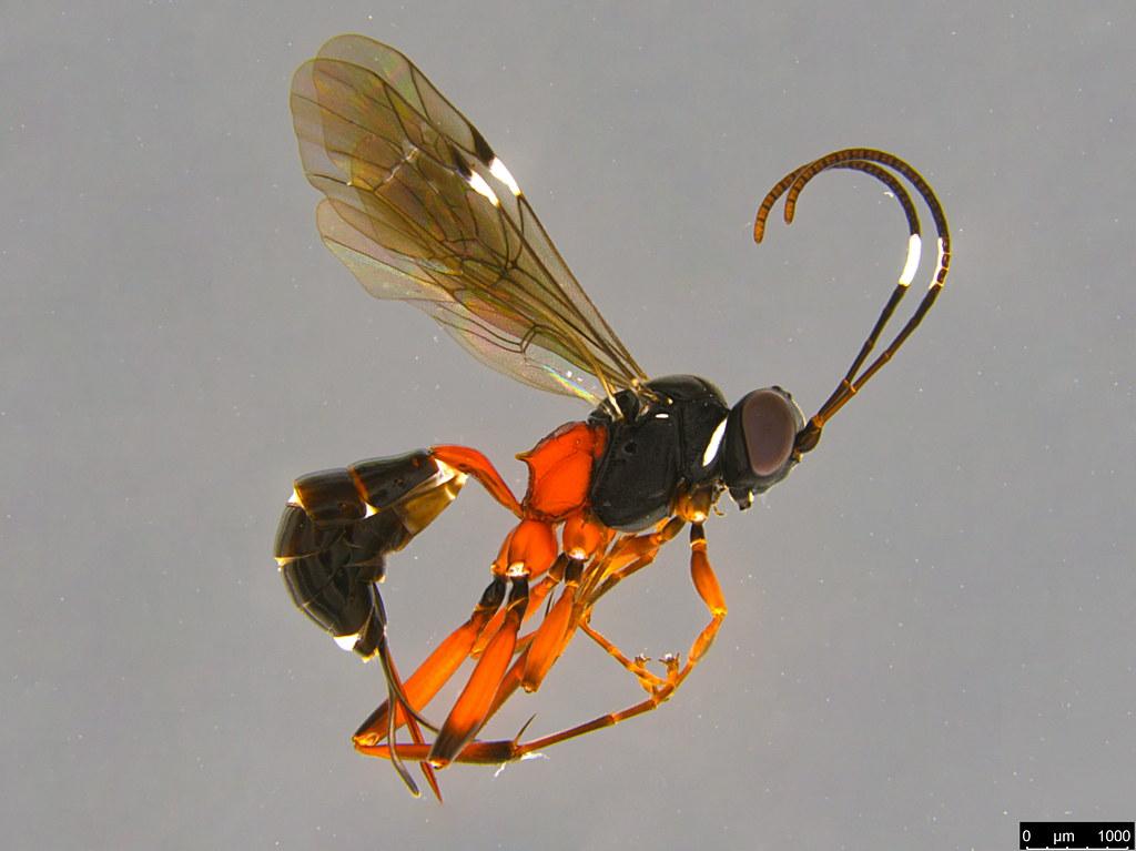 23a - Anacis sp.