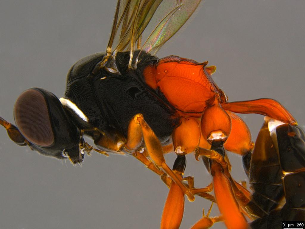 24b - Anacis sp.