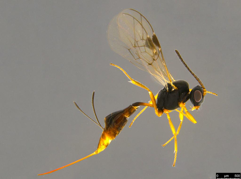 27a - Braconidae sp.