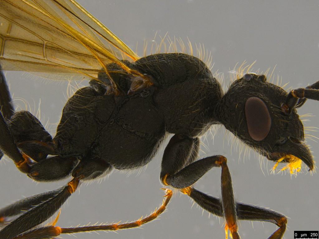 28b - Rhytidoponera sp.