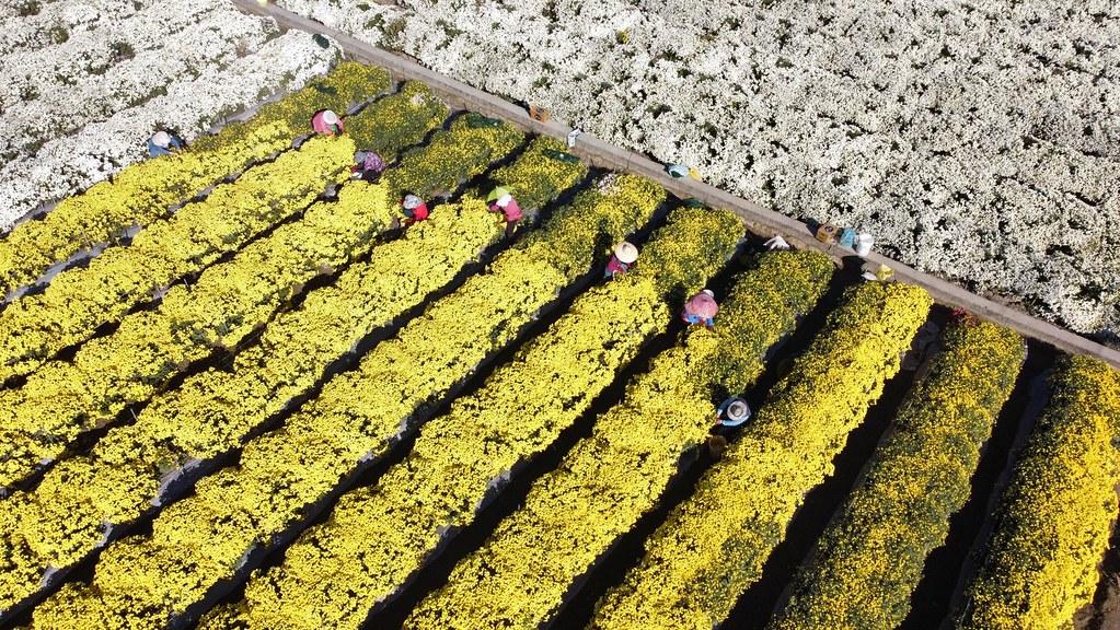20210911銅科環差地方說明會。銅鑼鄉是台灣杭菊的主要產地。照片提供:賴世若