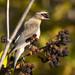 1D4A4239 cedar waxwing eating blackberry
