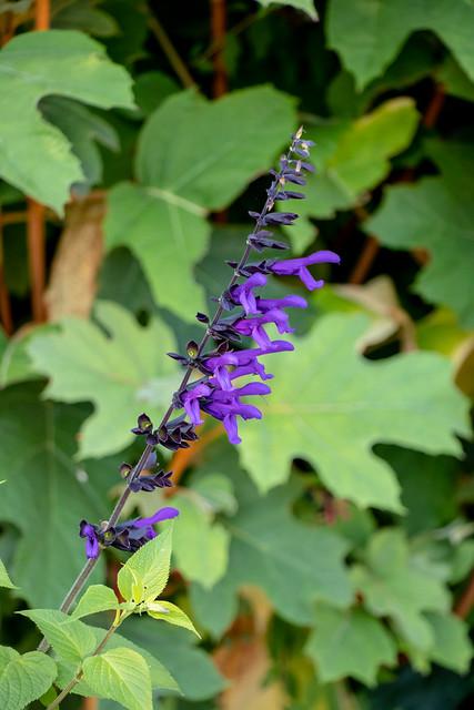 Blooming Salvia