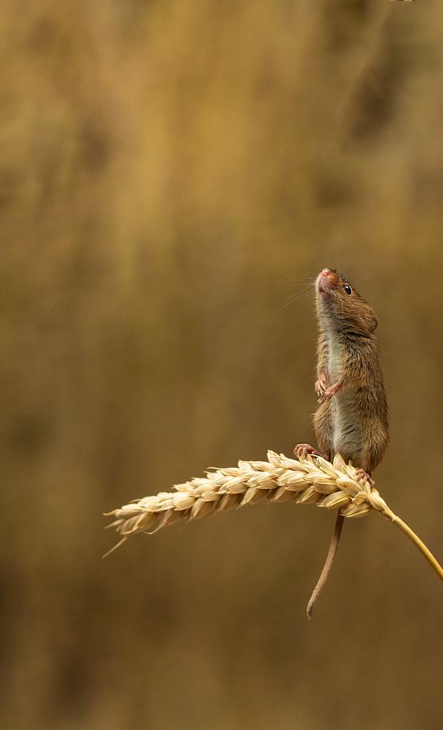 Harvest-Mouse-1b-LP-crop