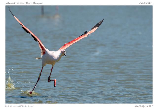 Le flamand rose | Greater Flamingo