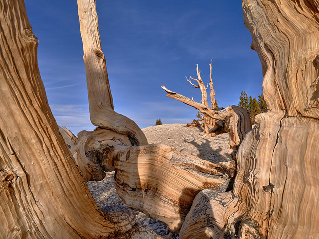 The Oldest Living Creatures - Ancient Bristlecone Pines, California