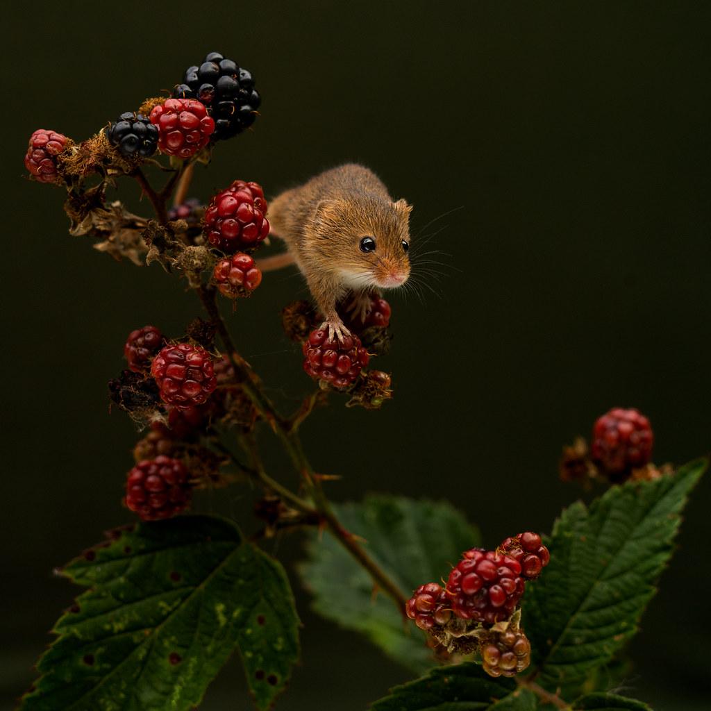Harvest-Mouse--Berries-2a-LP-crop