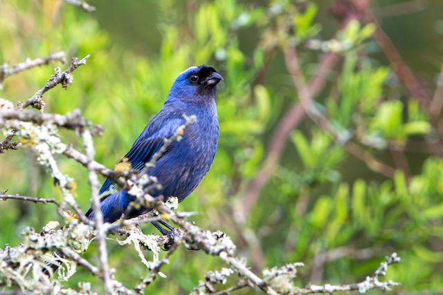 Frutero azul - Diademed tanager