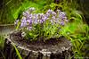 purple blooming Lobularia alyssum