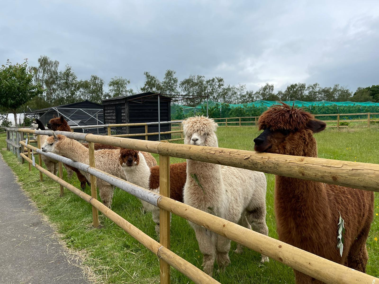 Greetings from alpacas
