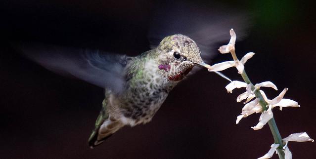 Anna's Hummingbird   PDX