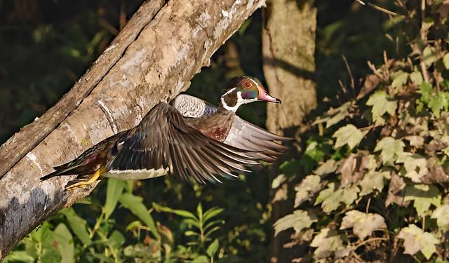 Wood Duck Liftoff_J7A1682