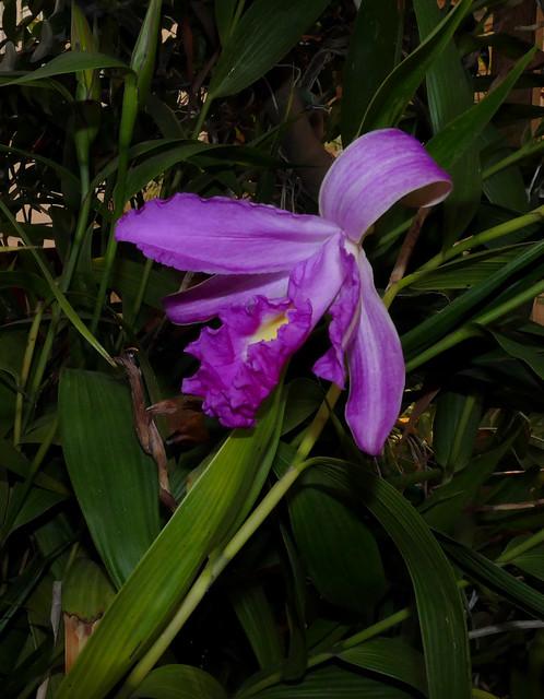 Sobralia Songbird hybrid orchid