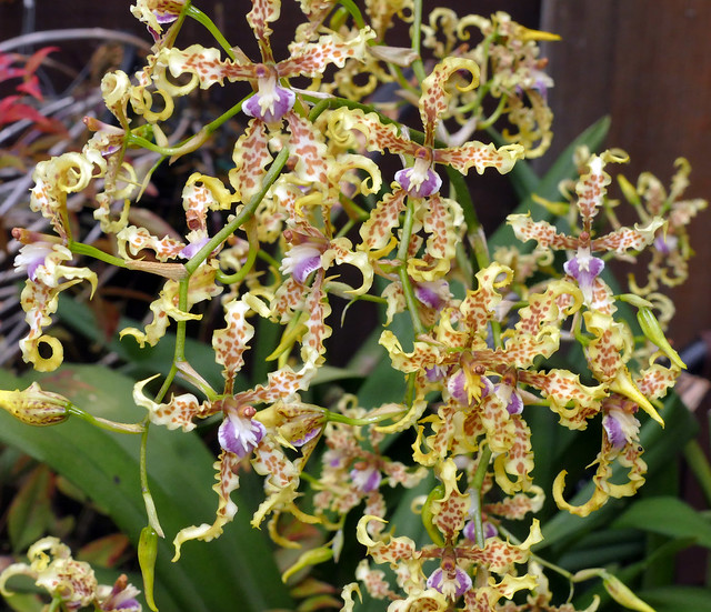 Cyrtochilum sodiroi species orchid