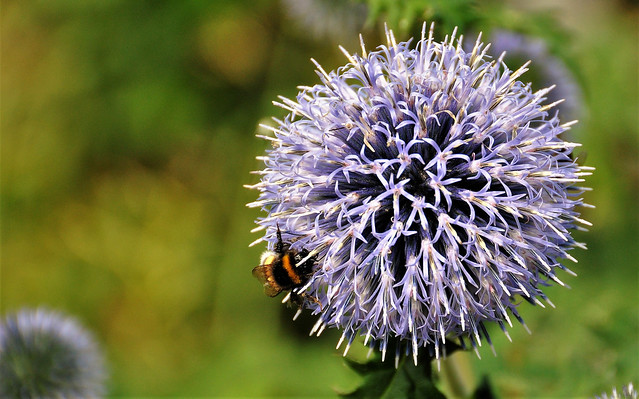 Thistle and the Bumblebee