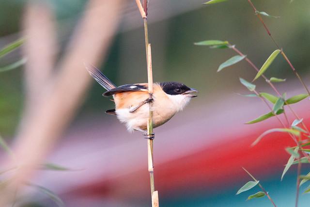 Long tail shrike | Latpanchor
