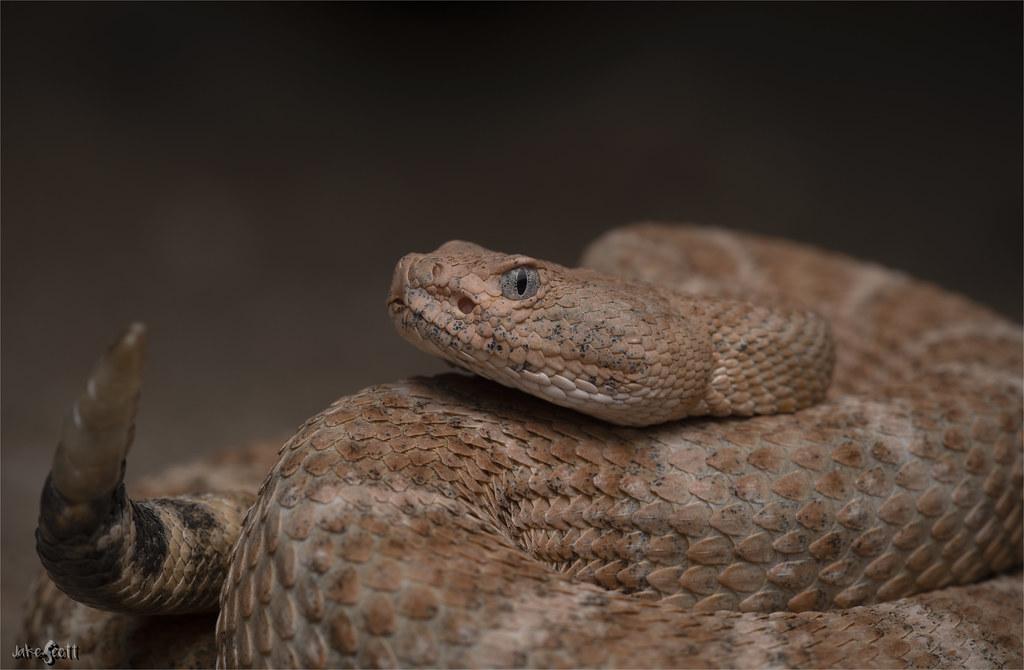 Southwestern Speckled Rattlesnake (Crotalus pyrrhus)