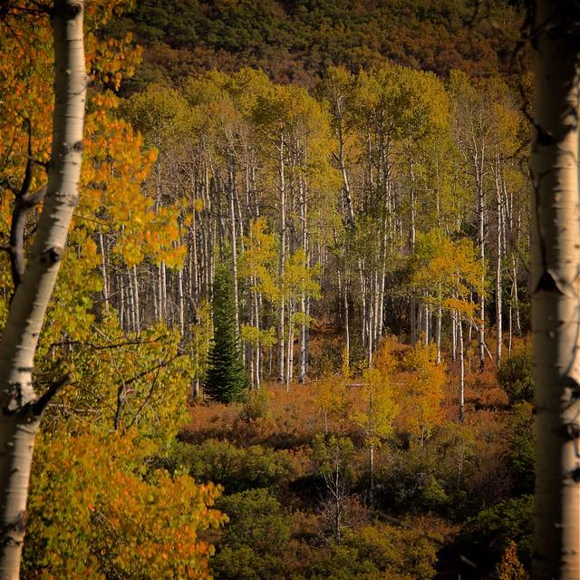 Autumn Aspen Glade