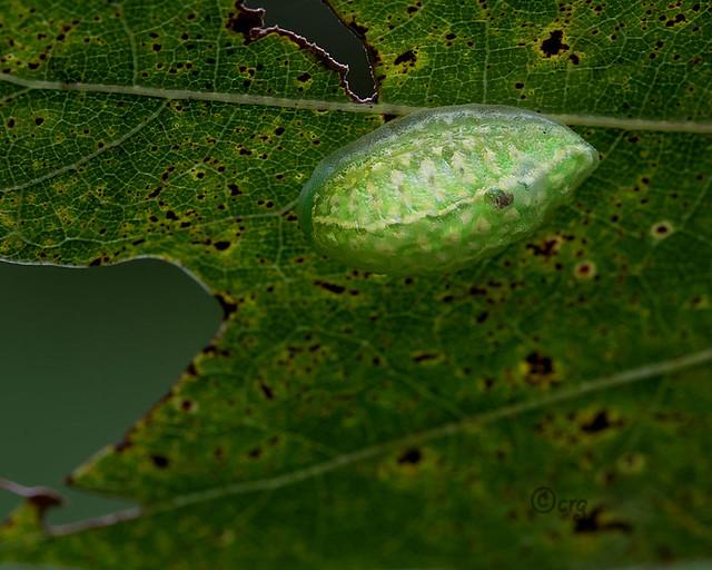yellow-shouldered slug