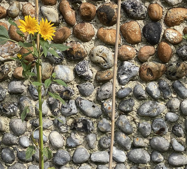 Norfolk Wall, And Sunflower
