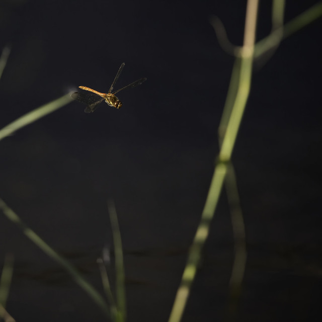 Male Ruddy Darter Dragonfly