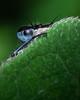 Blue eye dragonfly