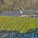 Blue Heron on Granite Basin Lake