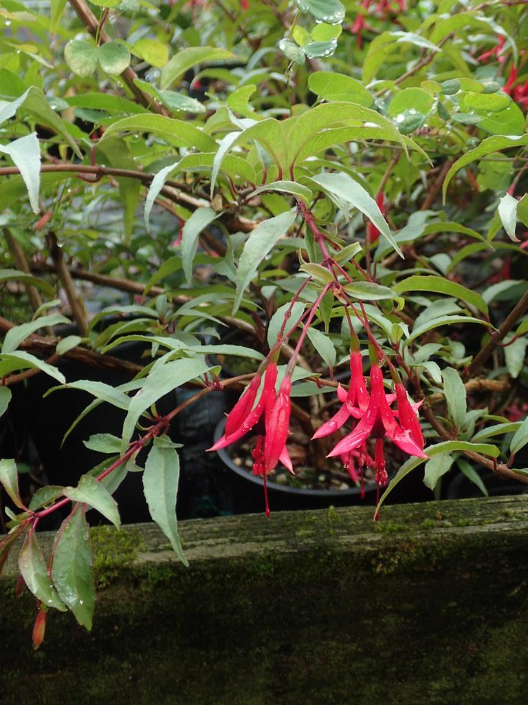 Fuchsia cf. regia grey leaf