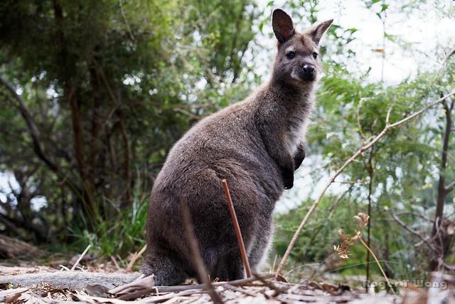 20210907-36-Bennett's Wallaby