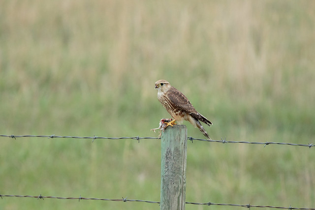 Merlin and dinner guest