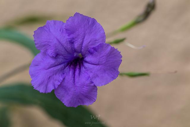 Mexican Petunia on Maui