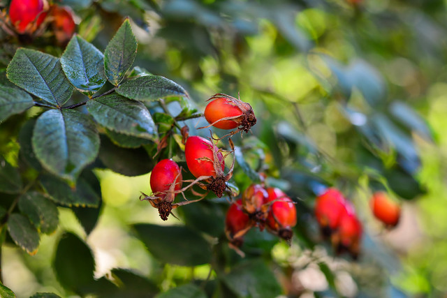 Rose hips on a bush in an autumn day, selective focus