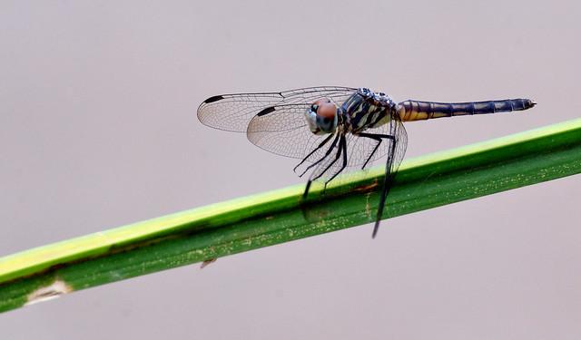 Blue Dasher Dragonfly -- Immature Female (Pachydiplex longipenis); Tucson, Arizona, Sweetwater Wetlands [Lou Feltz]