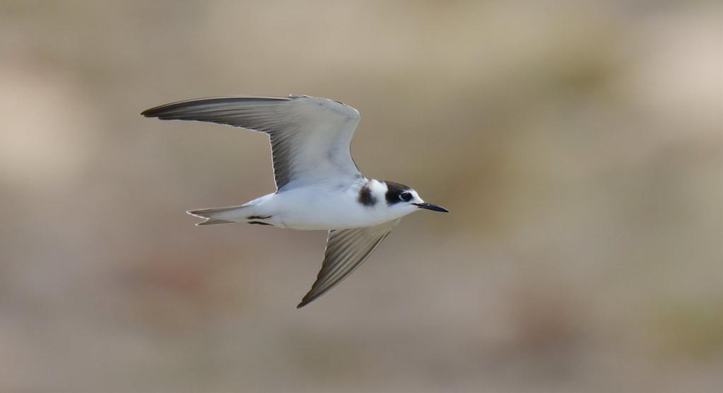 Gaivina negra   Chlidonias niger   Black Tern