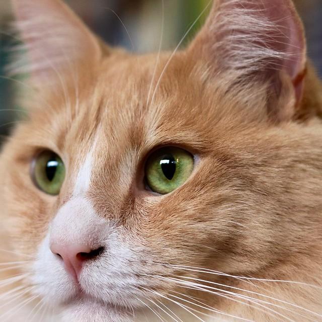 orange face of cat