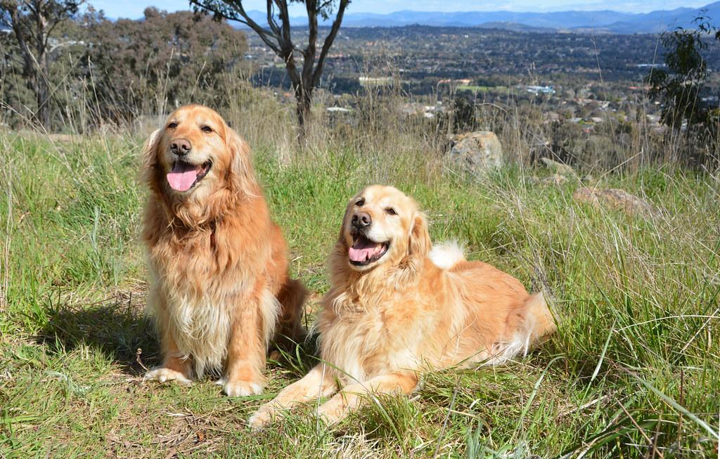 Rescue Golden Retrievers Zelda & Charlie 8418a
