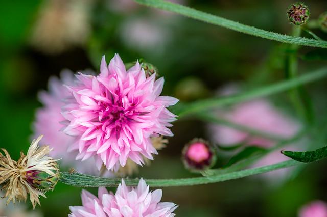 _KLU4447 (1).jpg Cornflower in pink