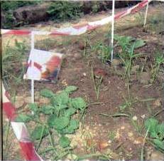 Fasi dello sviluppo di piante di patate