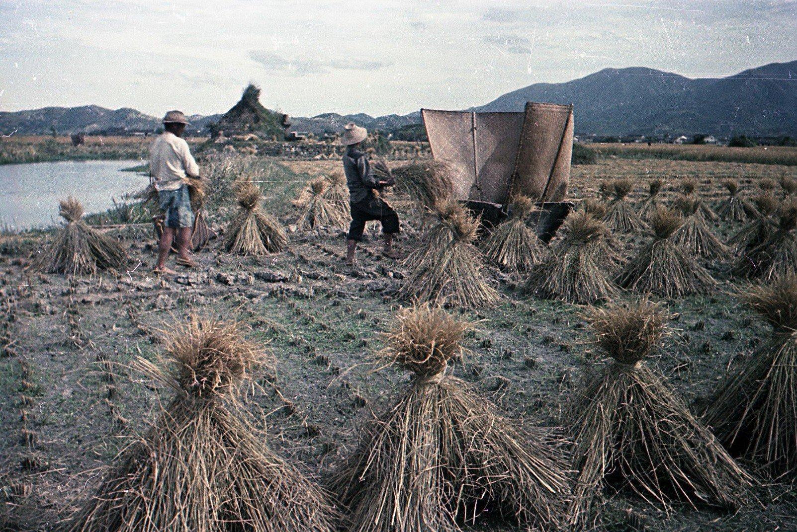 1949. Уборка риса